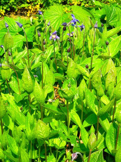 Ranunculaceae Clematis integrifolia