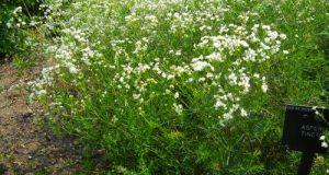 Asperula tinctoria, Dyer's Woodruff