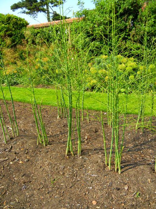 Asparagus, Gijnlim