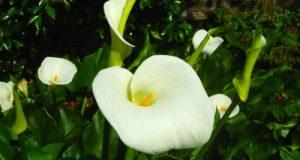 Zantedeschia, Calla Lily, Arum Lily
