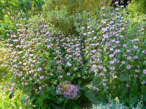 Phlomis Tuberosa Amazone, Kew Gardens