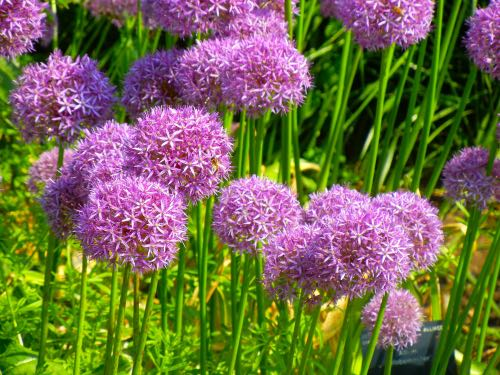 Allium Globemaster