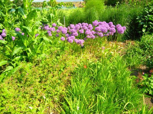 Allium Globemaster Kew Gardens