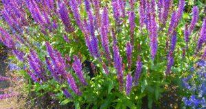 Salvia nemorosa, Kew Gardens