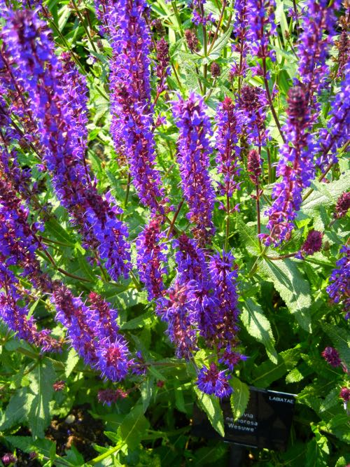 Salvia nemorosa, Purple
