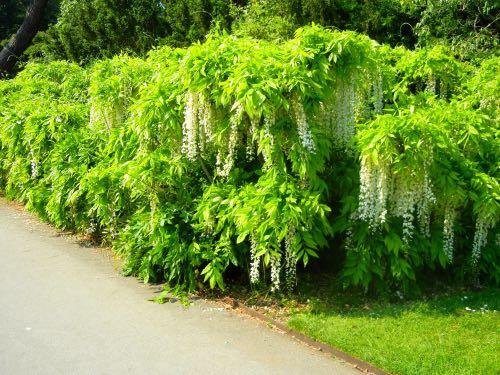 Wisteria Kew Gardens
