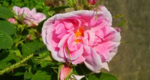 Rosa Damascena or Damask Rose