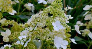 Hydrangea Paniculata - Floribunda