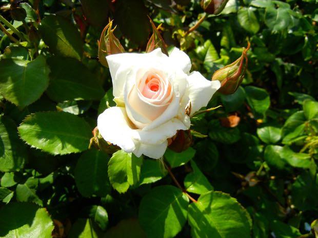 Belmonte Rose