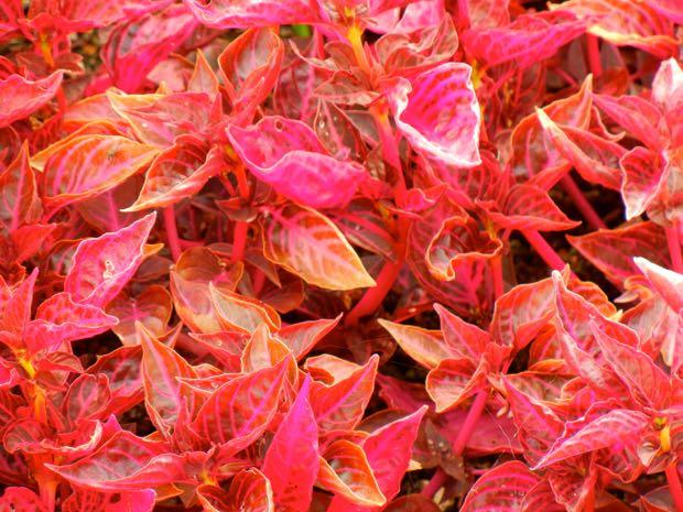 Iresine Herbstii - Brilliantissima