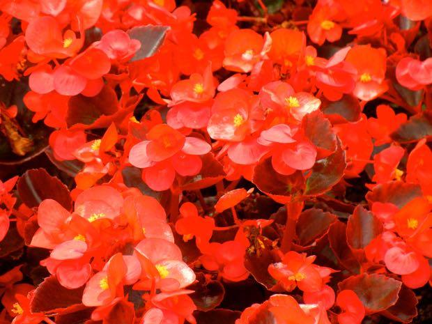 Begonia Semperflorens Ascot Bronze