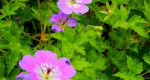 Geranium wallichianum - Rise and Shine,