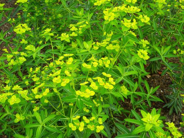 Euphorbia schillingii
