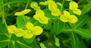 Euphorbiaceae, Euphorbia schillingii