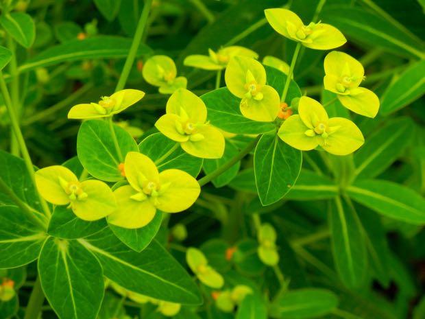 Euphorbiaceae,