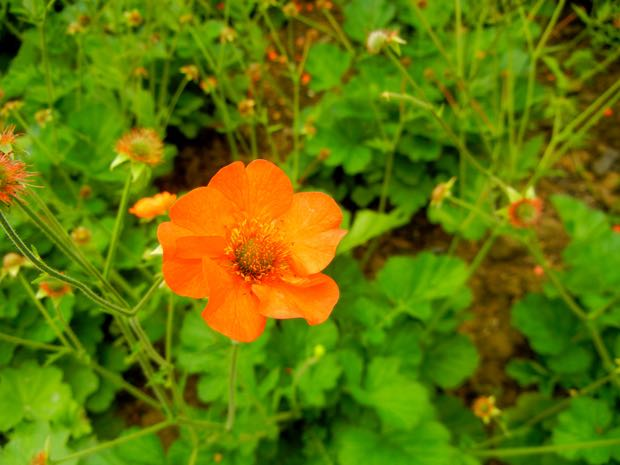 Geum - Totally Tangerine