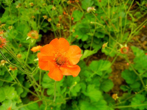 Geum - Totally Tangerine
