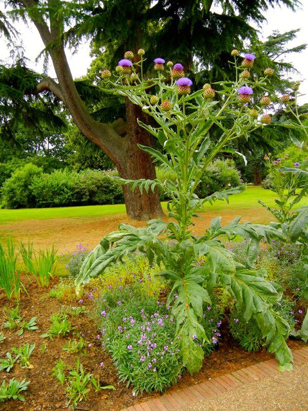 Cynara cardunculus subsp. cardunculus at Kew Garden