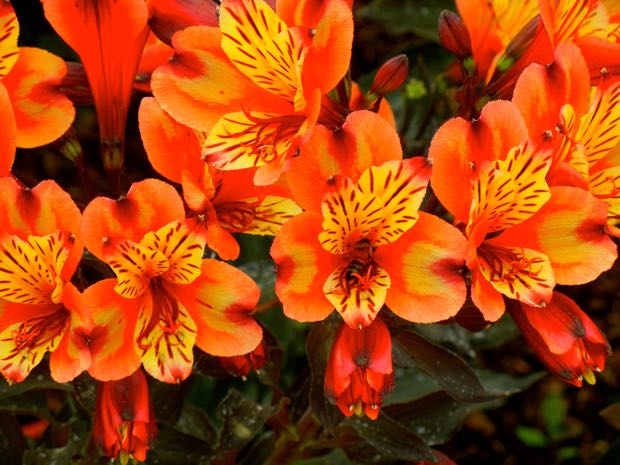 Alstroemeria - Indian Summer