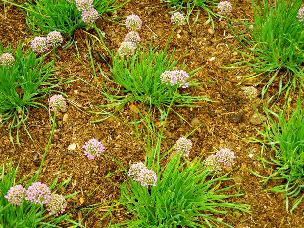 Allium Senescens