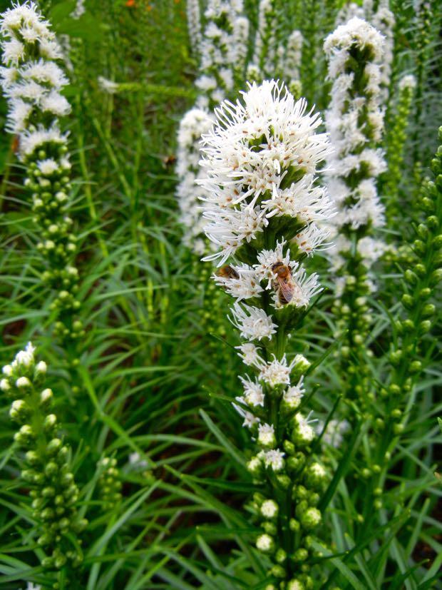 Liatris spicata  - Floristan White