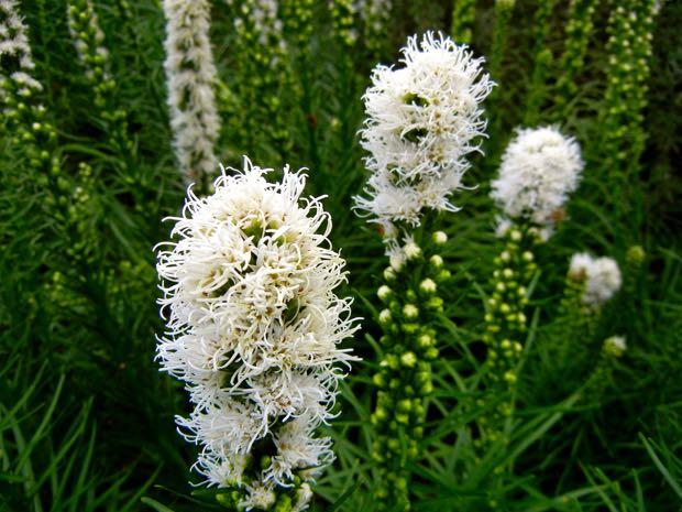 White Gayfeather, Button Snakewort, Blazing Star, Liatris Callilepis