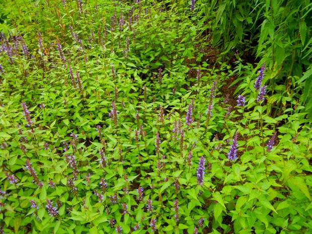 Agastache Blackadder