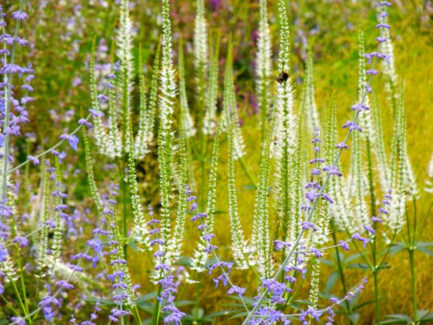 "Veronicastrum Virginicum ""Album"""