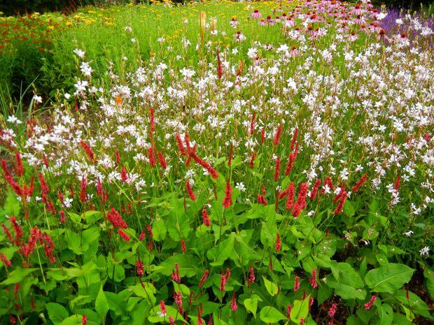 Persicaria amplexicaulis - Firetail