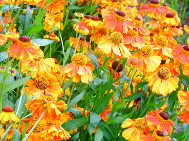 Helenium - Sahin's Early Flowerer