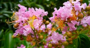 Lagerstroemia - Crepe Myrtle