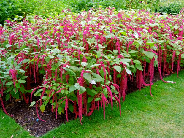 Love-Lies-Bleeding, Amaranthus caudatus
