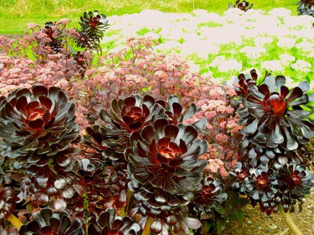 Aeonium Arboreum - Atropurpureum