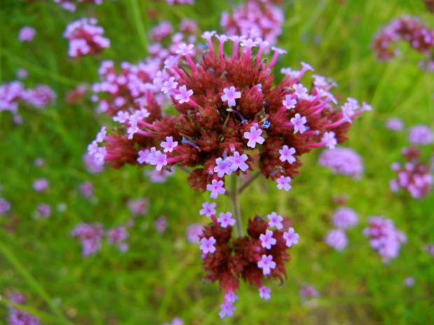purpletop vervain, clustertop vervain, Argentinian vervain, tall verbena