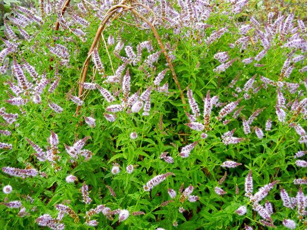 Mentha Spicata - Spearmint