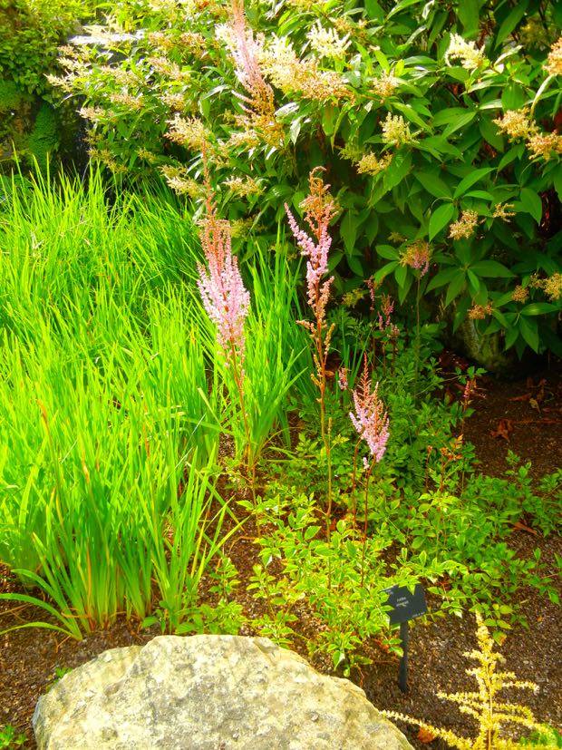 Astilbe Chinensis