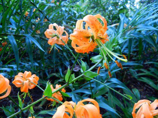 Lilium Tigrinum or Lancifolium