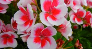 Pelargonium Sunrise Salmon Purple Eye