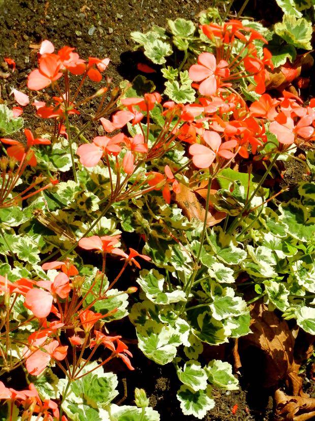 Geraniaceae Pelargonium 'Frank Headley'