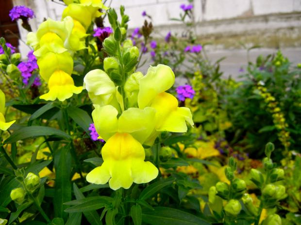 St Lawrence Jewry Garden - Snapdragon