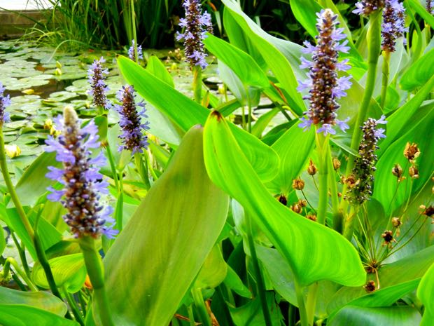 heart-leaved pickerel weed