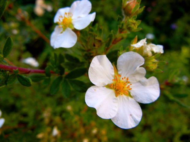 Rosa Arvensis - Field Rose