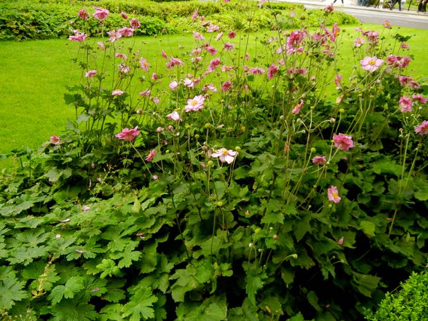 Anemone Rosenschale