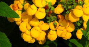 Calceolaria integrifolia