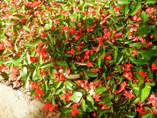 Begonia Semperflorens, Fibrous