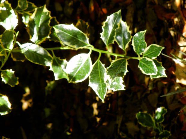 Ilex Aquifolium - Argentea Marginata, Silver-margined Holly