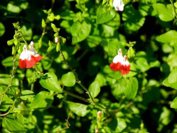 Salvia Jamensis - Hot Lips