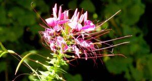Cleome Hassleriana - Violet Queen