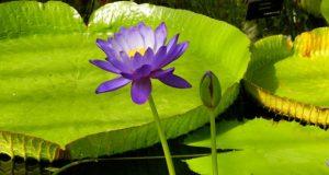 Nymphaea - Kew's Stowaway Blues