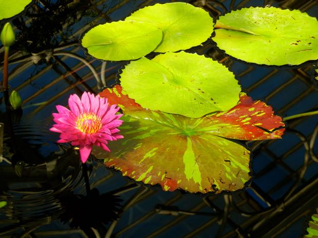 Nymphaea 'Bulls Eye'